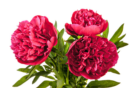 peony: Vinous peony flowers isolated on a white background