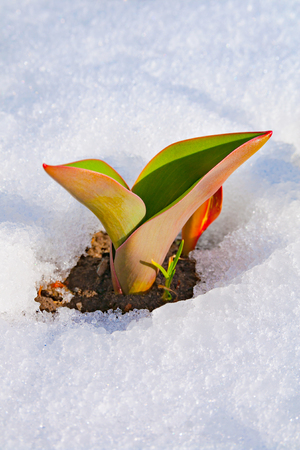 arousal: Tulip flower makes his way from under the snow, as a symbol of spring awakening Stock Photo