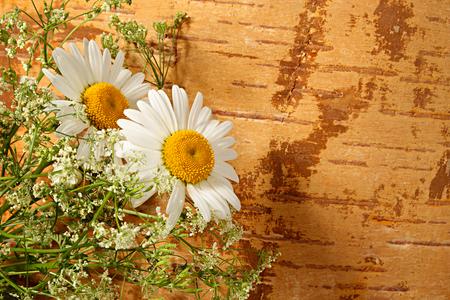 birchen: Chamomile on a background from birchen cork Stock Photo
