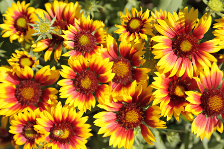 lemony: Flowerbed with red-yellow flowers of gaillardia