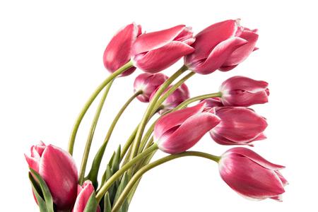 tulips isolated on white background: Spring flowers. Tulips isolated on white background Stock Photo