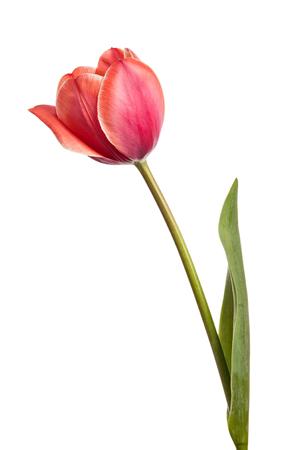 tulips isolated on white background: Tulips. One flower isolated on white background Stock Photo