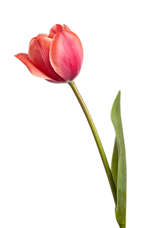 Tulips. One flower isolated on white background