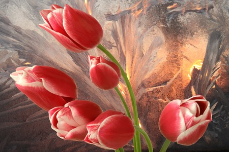 uprise: Tulips in background of frostwork Stock Photo