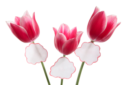 docket: Three tulips with labels on a white background Stock Photo