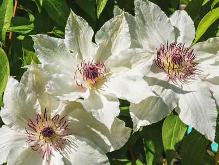 Flowers 2016. Big white Clematis
