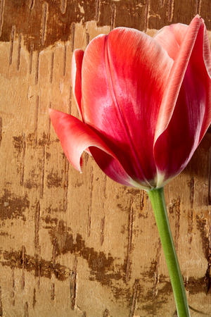 Red tulip on grunge background from birch bark