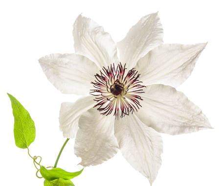 pomp: Flowers 2016. Big white Clematis
