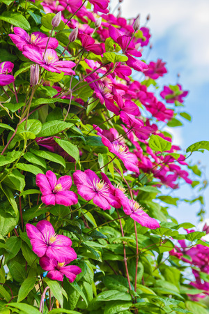 Flowers of clematis on a yard