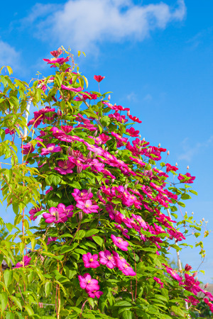 Flowers of clematis in yard on background of blue sky Stock Photo