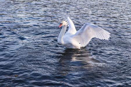 militant: Wild swan in fighting pose Stock Photo