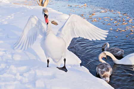 Swans in the wild