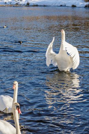 militant: White swans in the wild