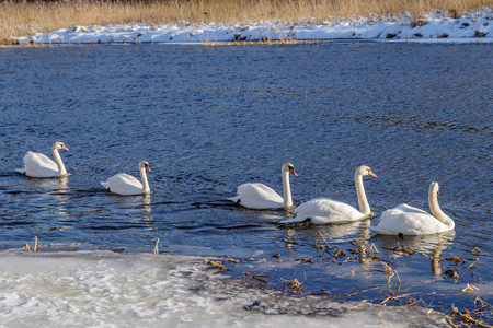 White swans in the wild