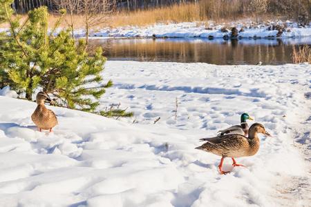 Ducks in the winter nature