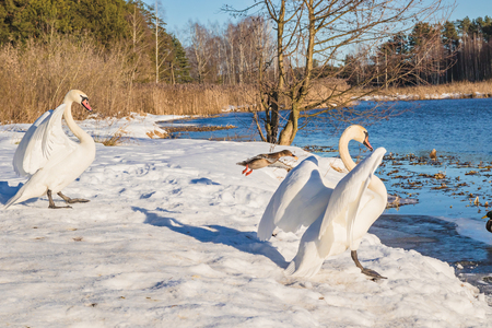 Swans and duck in the winter nature