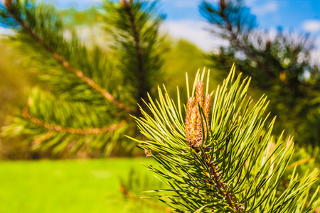 Young pine branches with buds against the blue sky Stock Photo