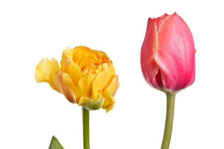 Pair tulips isolated on a white background