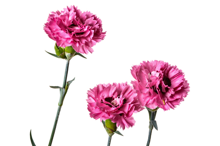 Bouquet of Carnation flowers isolated on a white background Stock Photo
