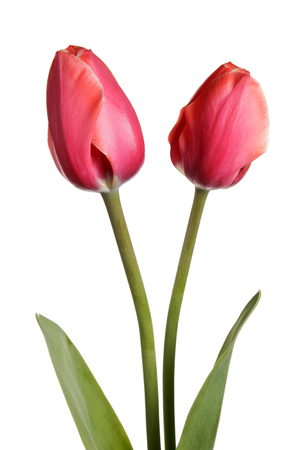 Two tulip flowers isolated on a white background 版權商用圖片