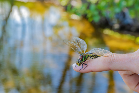 Dragonfly sitting on a woman's finger against a background of water with enchanting reflections of trees Standard-Bild