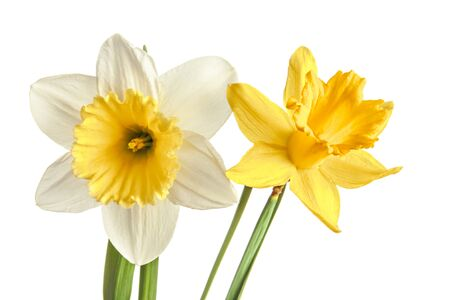 Pair of narcissus flower isolated on a white background 版權商用圖片
