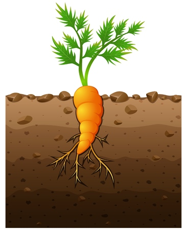 Vector illustration of Carrot plant with roots underground illustration Illustration