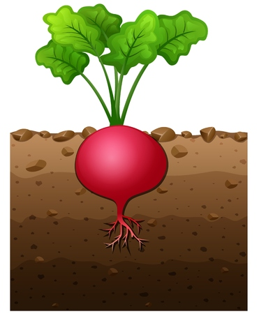 Vector illustration of Red radish plant with roots underground illustration
