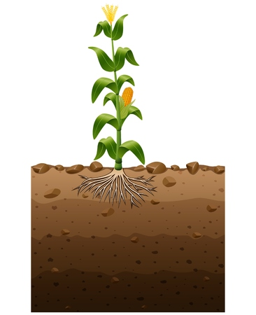 Vector illustration of Corn plant with roots underground illustration Illustration