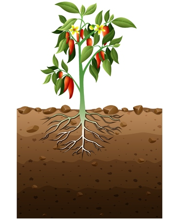 Vector illustration of Cayenne plant with root underground illustration