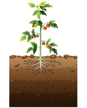 tomate de arbol: Ilustración del vector de la planta de tomates con la raíz de la ilustración subterránea