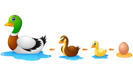 Vector illustration of Life cycle of a duck