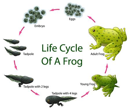 Vector illustratie van de levenscyclus van de kikker