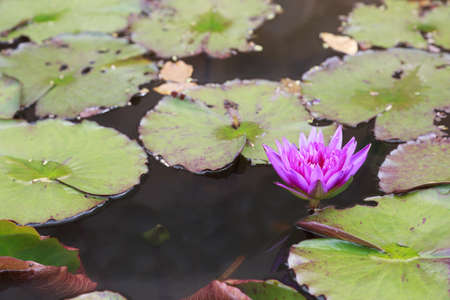 Nymphaea stellata Wild or water lily or lotus is aquatic plant and has a beautiful color.