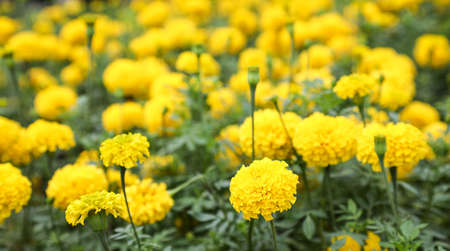 Marigold are yellow flowers and beautiful when looking is a fresh feeling.