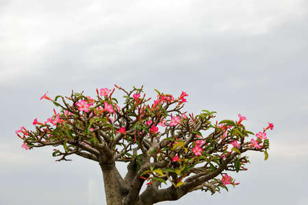 Impala lily or Azalea flower have beautiful pink flowers in the cloudy rainy season.