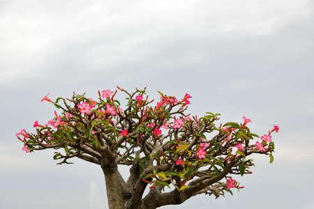 adenium obesum balf: Impala lily or Azalea flower have beautiful pink flowers in the cloudy rainy season.