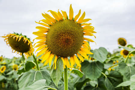 Sunflower has a beautiful yellow flower and feel fresh. Stock Photo