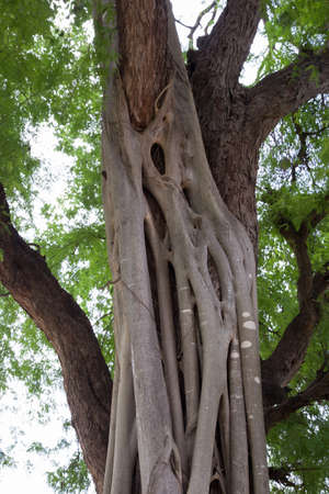 Banyan is on the tamarind tree in type parasite.