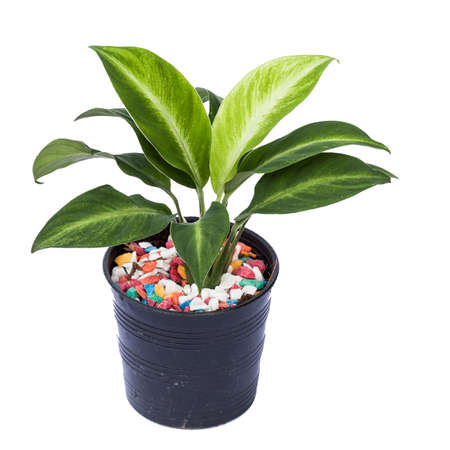 Ornamental plant to cultivate in black pot on white background. Stock Photo
