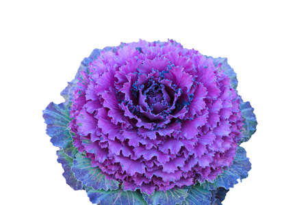 Purple cauliflower is a beautiful vegetable on white background.