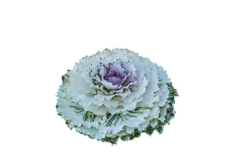 Purple and white cauliflower is a beautiful vegetable on white background.