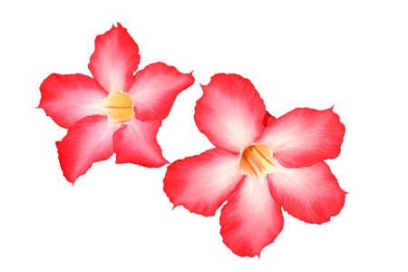 Adenium obesum or Impala Lily is beautiful flower on white backgroung.