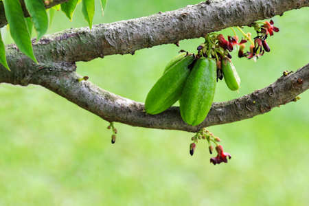 Bilimbi is a sour fruit have red flower and green fruit and properties as herb and used for cooking. Stock Photo