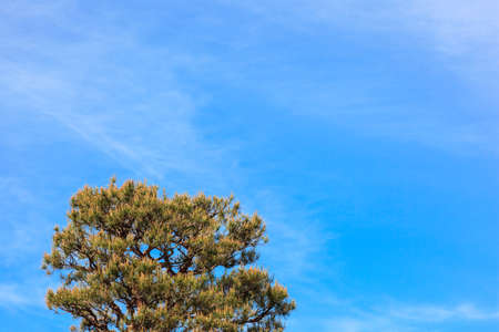 Treetop of pine tree have beautiful flower on the sky was cloudy. Stock Photo