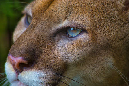 Close up portrait of a Puma or Cougar with blue eyes. Shot in Belize Imagens