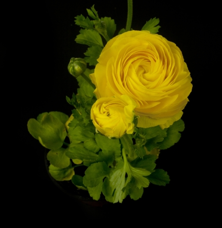 discovery channel: a yellow ranunculus asiaticus (persian buttercup) flower