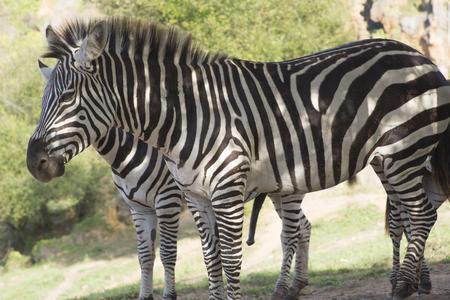 poacher: zebras in a safari landscape Stock Photo