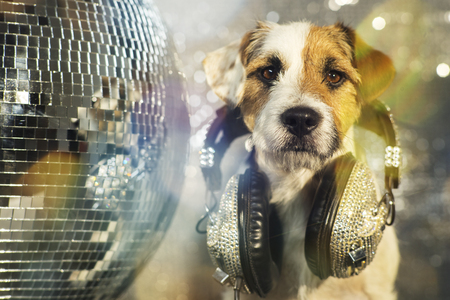 paw russell: a cute jack russell dog with headphones in a disco setting