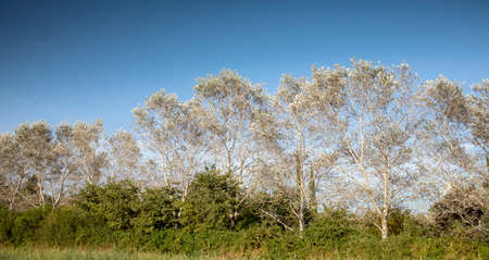 poplar trees on windy day with clouds in sky 스톡 콘텐츠